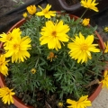 Bidens Rapid double yellow - dvouzubec