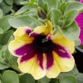 Petunia Moonlight Bay